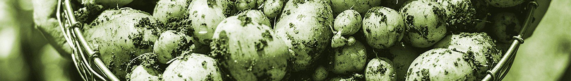 kartoffeln_gruen